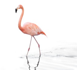 one adult pink flamingo walking on water. Isolated on white background