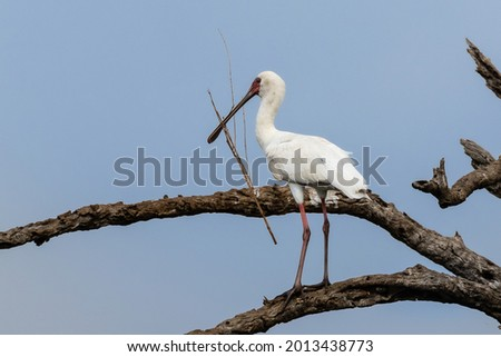 One African spoonbill with nest building material in its  beak Stockfoto ©