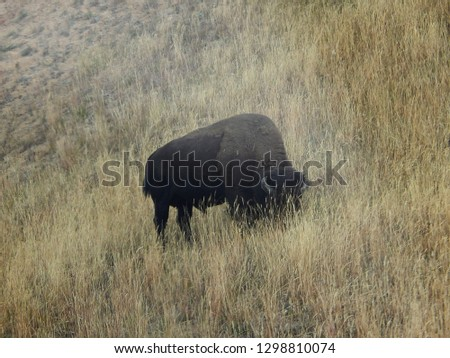 One American bison grazing on prairie grasses in Yellowstone National Park