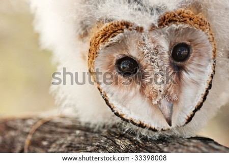 one baby African grass owl chick on a branch, protected less like 5000, strigiformes,Tyto longimembris