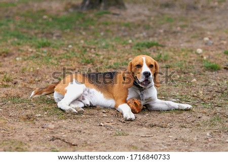 one beagle dog in a collar lies on the street with a toy Zdjęcia stock ©