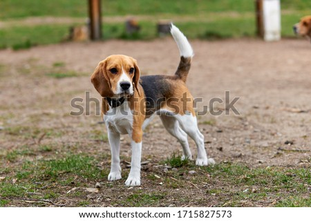 one beagle dog in a collar with a raised tail is standing on the street Zdjęcia stock ©