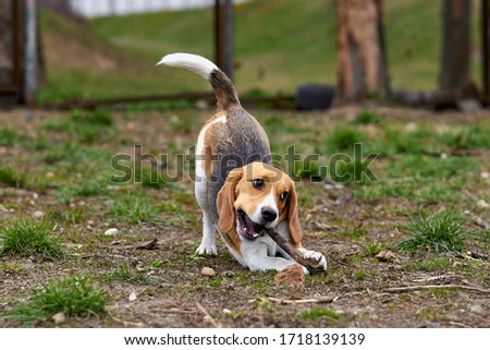 one beagle dog plays with a wooden stick in a funny pose Zdjęcia stock ©