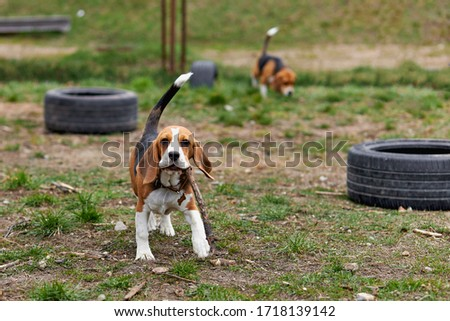one beagle dog runs with a toy on the street at the playground Zdjęcia stock ©