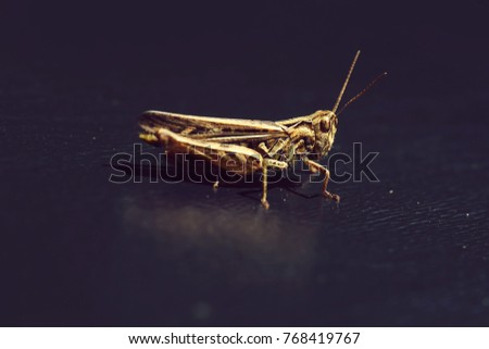 One beautiful natural sitting grasshopper locust insect wildlife beauty of nature side view closeup on dark background, horizontal picture