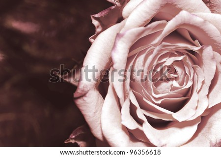 one beautiful rose, close-up,