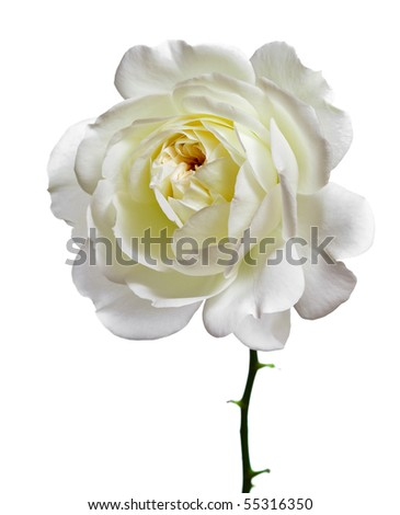 one beautiful white rose head close up isolated  on a white background