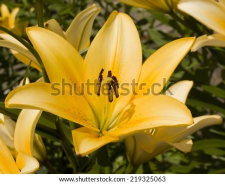 One big flower lily of orange colour in garden.