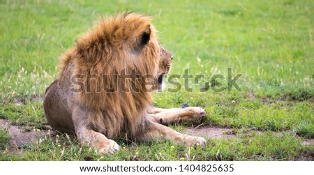 One big lion lies in the grass in the middle of the landscape of a savannah in Kenya #1404825635