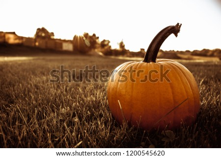 one big orange pumpkin in the field