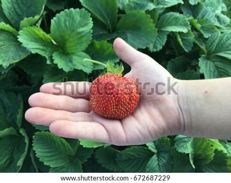 One big strawberry in a child's hand #672687229