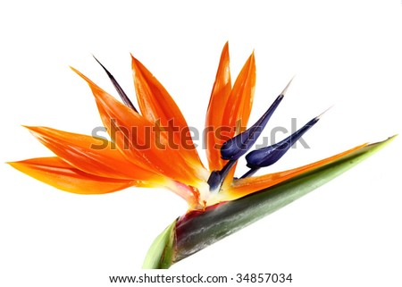 one bird of paradise flower on a white background