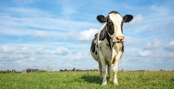 One black and white cow, frisian holstein, high-spirited in a pasture under a blue sky and a faraway  horizon.