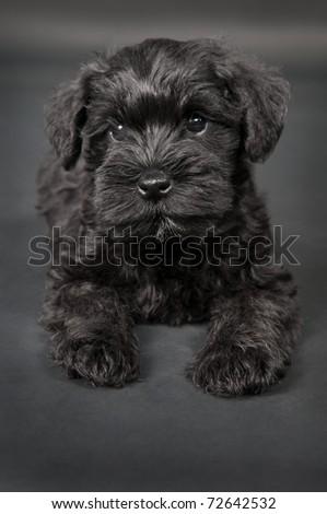 one  black little cute puppy of zwergschnauzer dog