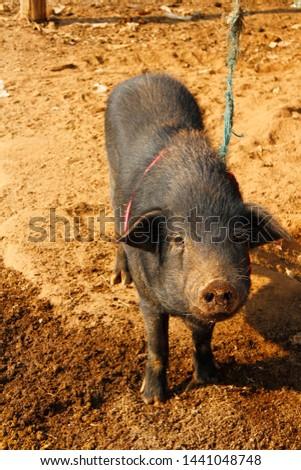 One black pig, animal husbandry and rural livelihoods.
