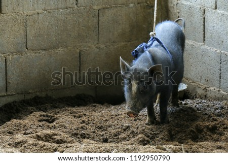 One black pig in a stable, captured and not independent, animal husbandry and rural livelihoods, animals as food for humans