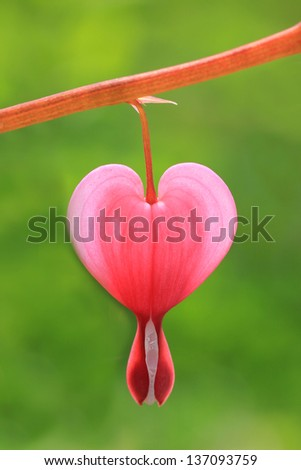 one bleeding heart bloom isolated against green background