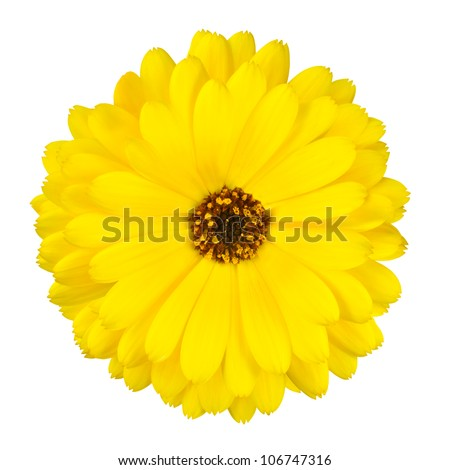 One Blossoming Yellow Pot Marigold Flower - Beautiful Calendula officinalis Isolated on White Background. Top view