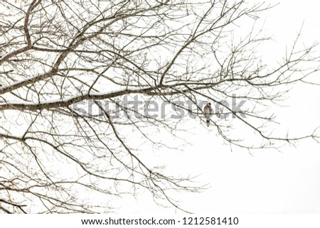 One blue jay, Cyanocitta cristata, bird sitting perched on tree branch during heavy winter covered in snow in Virginia, snow flakes falling, far distant