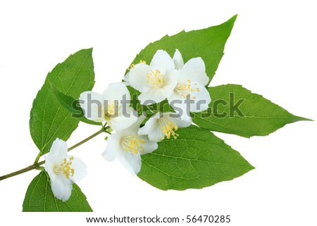 One branch of jasmin with green leaf and white flower. Isolated on white background. Close-up. Studio photography.