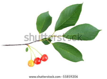 One branch with green leaf and cherrys. Isolated on white background. Close-up. Studio photography.