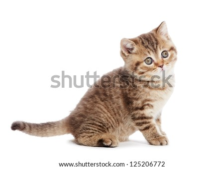 One british shorthair brown kitten cat isolated