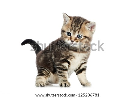 One british shorthair grey kitten cat isolated
