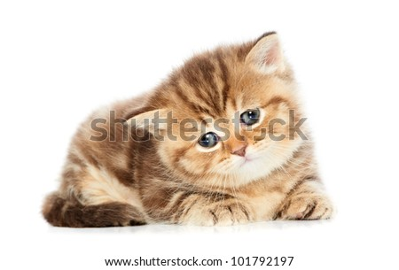 One british shorthair red kitten cat isolated