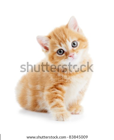 One british shorthair red kitten cat isolated #83845009