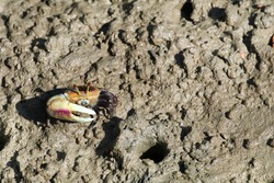 One brown fiddler crab has big claw is crawling near the hole on the brown mud