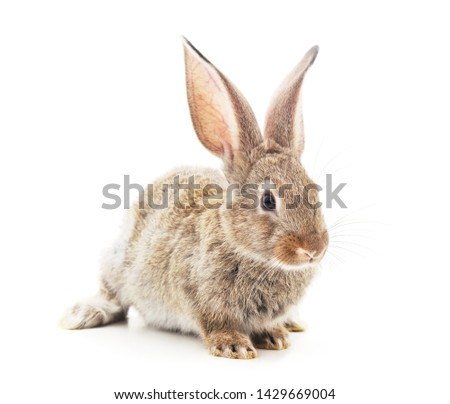 One brown rabbit isolated on a white background. #1429669004