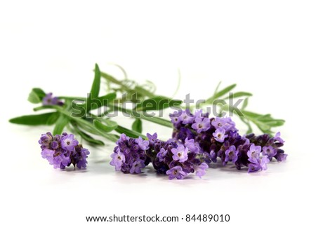 one bunch of fresh lavender on a white background - stock photo