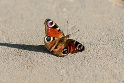 one butterfly Aglais io, peacocks eye on asphalt path, Inachis IO