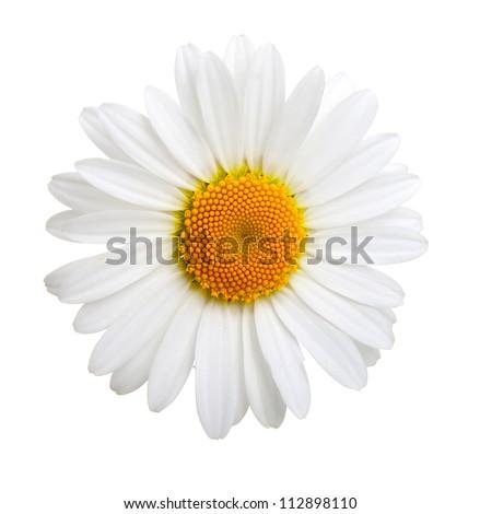 one camomile isolated on white background