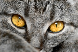 One cat. Cat head closeup. Sad eyes. Selective focus.