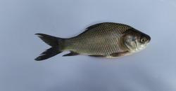 One Catla Fish image  Catla fish  Fish image