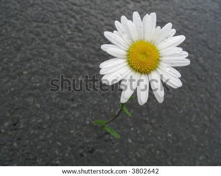 one chamomile on wet asphalt