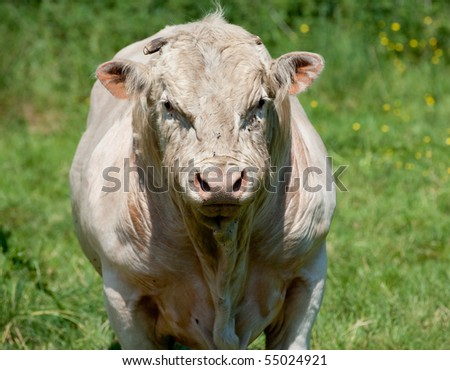 One close up photo of a bull in a field.