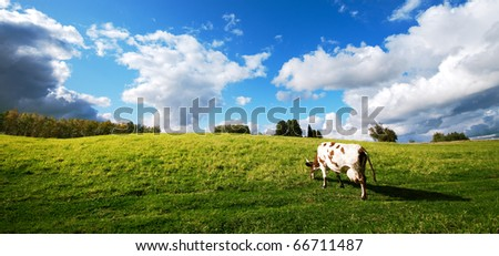 One cow grazing in green meadow