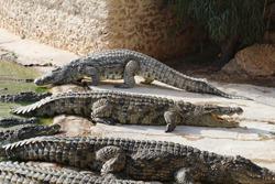 One crocodile showing teeth. Open jaws crocodile. Crocodile farm. Cultivation of crocodiles. Crocodile sharp teeth. Close-up.