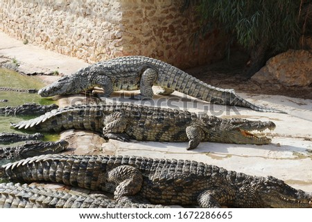 One crocodile showing teeth. Open jaws crocodile. Crocodile farm. Cultivation of crocodiles. Crocodile sharp teeth. Close-up.