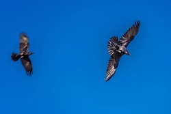 One Crow Chases Another Crow Through the Sky