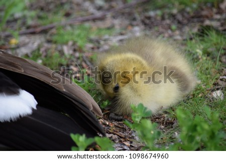 One cute gosling curled up and trying to go to sleep. Eyes still open, resting beside Mama Goose , in a grassy meadow