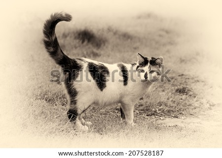 One cute mixed-breed cat standing on grass with its raised tail. Black and white fine art outdoors portrait of domestic cat.