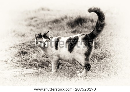 One cute mixed-breed cat standing on grass with its raised tail. Black and white fine art outdoors portrait of calico domestic cat.