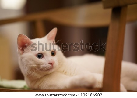 One cute white cat with the different color eyes #1199186902