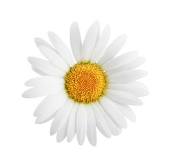 One daisy flower isolated on white background as package design element.