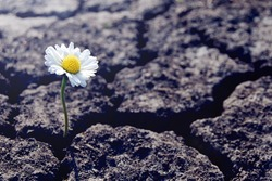 One daisy flower sprouts through dry cracked soil. Symbol of soul rebirth and eternal life