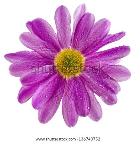 one daisy head close up macro isolated on white background