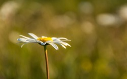 One Daisy on a blurred background with space for text. Summer gentle natural background. A symbol of loyalty and love. Soft focus. Beautiful bokeh. The design of the cards. Chamomile petals close-up.